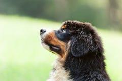 Cane da montagna di Bernese Fotografie Stock