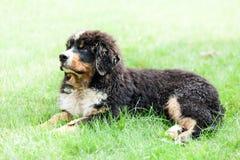 Cane da montagna di Bernese Fotografia Stock