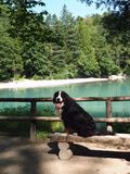 Cane da montagna di Bernese immagini stock