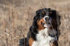 Cane da montagna di Bernese Immagine Stock Libera da Diritti
