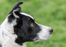 Cane da pastore immagini stock