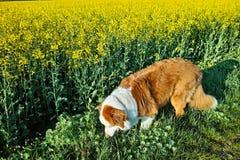 Cane da pastore australiano al giacimento del canola Fotografia Stock