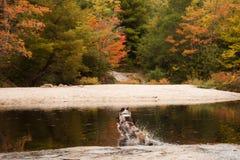 Cane da pastore australiano che salta nel lago con il folliage di autunno immagine stock