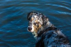 Cane da pastore australiano in un lago Fotografia Stock