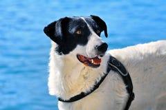 Cane da pastore in bianco e nero Fotografia Stock