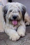 Cane da pastore bianco rumeno Fotografia Stock Libera da Diritti