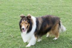 Cane da pastore del pastore fotografia stock