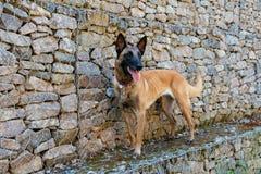 Cane da pastore del belga di Malinois Immagini Stock Libere da Diritti