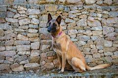 Cane da pastore del belga di Malinois Fotografia Stock Libera da Diritti