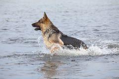 Cane da pastore della Germania di nuoto Fotografia Stock Libera da Diritti