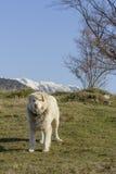 Cane da pastore della montagna Immagine Stock Libera da Diritti