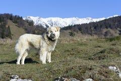 Cane da pastore della montagna Fotografie Stock Libere da Diritti