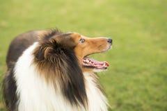 Cane da pastore della Scozia fotografia stock libera da diritti