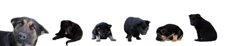 Cane da pastore e cuccioli tedeschi Immagine Stock