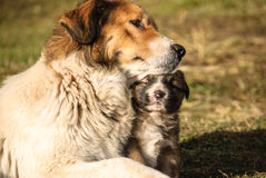 Cane da pastore ed i suoi giovani Fotografia Stock Libera da Diritti