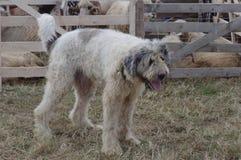 Cane da pastore mioritic rumeno Immagine Stock