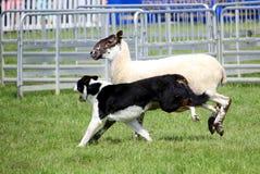 Cane da pastore o border collie, anche conosciuto come un cane pastore scozzese, con il cappotto in bianco e nero distintivo, cor Fotografia Stock Libera da Diritti