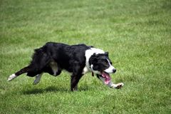 Cane da pastore o border collie, anche conosciuto come un cane pastore scozzese, con il cappotto in bianco e nero distintivo, inv Fotografia Stock Libera da Diritti