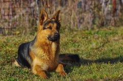 Cane da pastore tedesco che si trova sull'erba immagine stock libera da diritti