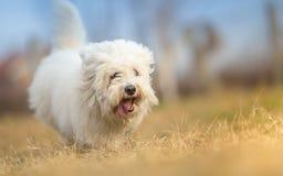 Cane dai capelli lunghi bianco nel funzionamento Fotografia Stock Libera da Diritti