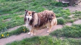 Cane dai capelli lunghi molto vecchio in cortile Fotografia Stock Libera da Diritti