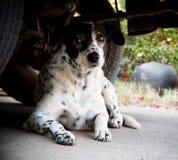 Cane dalmata che mette su un pavimento Immagine Stock