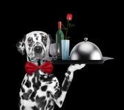 Cane dalmata del cameriere con i piatti, il vino e la rosa Isolato sul nero immagine stock