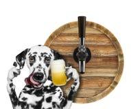 Cane dalmata sveglio con un vetro di birra e del barilotto Isolato su bianco immagine stock libera da diritti