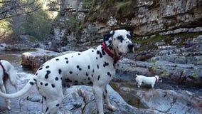 Cane dalmata vicino al fiume Fotografia Stock