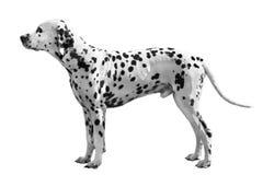 Cane Dalmatian Immagini Stock Libere da Diritti