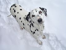 Cane Dalmatian Immagine Stock
