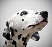 Cane Dalmatian Fotografia Stock