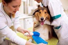 Cane danneggiato con la gamba rotta all'ambulanza dell'animale domestico immagini stock