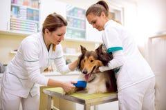 Cane danneggiato con la gamba rotta all'ambulanza dell'animale domestico immagini stock libere da diritti