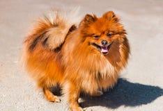 Cane degli animali domestici pomeranian Fotografia Stock