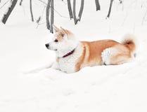 Cane del Akita Fotografia Stock