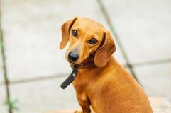 Cane del bassotto tedesco in all'aperto Bello bassotto tedesco che si siede in w Immagine Stock Libera da Diritti
