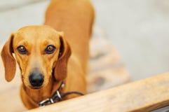 Cane del bassotto tedesco in all'aperto Bello bassotto tedesco che si siede in w Fotografia Stock Libera da Diritti