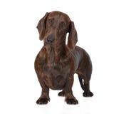Cane del bassotto tedesco di Brown che sta sul bianco Fotografie Stock