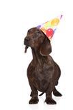 Cane del bassotto tedesco di Brown in un cappello di compleanno Fotografie Stock