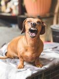 Cane del bassotto tedesco di ringhio fotografia stock