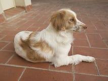 Cane del bretone dello spaniel Fotografia Stock Libera da Diritti