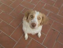 Cane del bretone dello spaniel Fotografie Stock Libere da Diritti