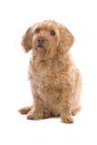 Cane del Brittany Griffon del Fawn Fotografie Stock