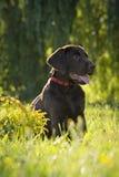 Cane del Brown labrador Immagine Stock Libera da Diritti