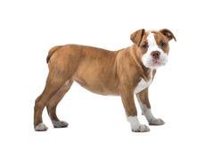 Cane del bulldog di rinascita fotografia stock libera da diritti