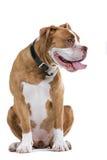 Cane del bulldog di rinascita fotografie stock