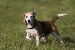 Cane del cane da lepre Fotografia Stock Libera da Diritti