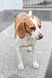 Cane del cane da lepre immagine stock libera da diritti