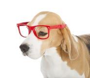 Cane del cane da lepre Fotografie Stock